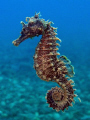 Another seahorse. Taken in april, presented at VODAN. Olympus SP350, internal strobe, lens +4, 1/250s, f/7.1, ISO200