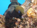 Yellow mouthed moray, Sea Tiger Wreck 100 feet, Honolulu Hawaii