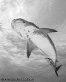 Beneath a beautiful tiger shark at Tiger Beach, Bahamas.  ©Amanda Cotton