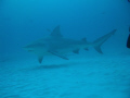 SHARK DIVING AT PLAYA DEL CARMEN...