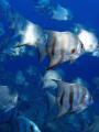 School of batfish. City of Recife's sea coast . Vapor de Baixo wreck. Pernambuco. Brazil.Cardume de peixe-enxada no naufrágio Vapor de Baixo. Costa da cidade de Recife. Brasil.