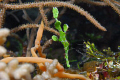 A halimeda ghost pipefish taken with a nikon D200,60mm macro lens and 2  sea & sea ys110 strobes