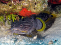 The illusive Splendid Toadfish common to Cozumel, comes out to play - well, sorta.  Toadfish don't come