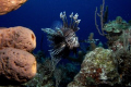 Vigilant Specter - The Lionfish has invaded the atlantic waters of the caribbean in vast numbers, and are exploding in population tenfold, due to the lack of preditors.  This lionfish was patrolling Jakes Hole, in the Exumas caye chain in the Bahamas