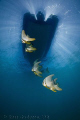 Batfish under out boat.  Ningaloo Reef, Western Australia.  Canon 50D & Tokina 10-17 fisheye
