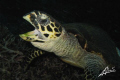Yawning Hawksbill Turtle in North Point (island 9, Similan National Park - Thailand)