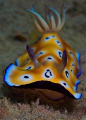 Leopard Chromodoris.Cropped, Used Nikon D70s with 60mm Micro Lense and Nikonos SB 105 Strobe