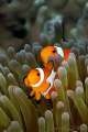 Amphiprion ocellaris - False clown Anemonefish (Clownfish)