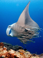 For the remoras this big manta was a nice place to take a ride to somewhere else.