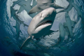 A group of very curious lemon sharks