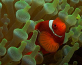 Spine-Cheek Anemone Fish in Bubble Anemone.