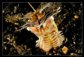 Bobbit Worm, Lembeh Straits, 
