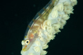 Goby, Nikon D70S, 105 mm, DS160