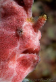Painted frogfish (Antennarius pictus) with Nikon D300, 105mm