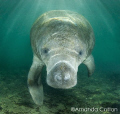 Crystal River, Florida manatee