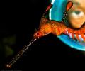Weedy Seadragon & Diver
