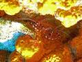 Banded Coral Shrimps hanging together