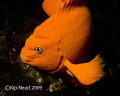 Show me your fins. I caught this Garibaldi at Santa Cruz Island on a boat trip over New Years. Nikon D200, Sea & Sea housing, YS-90 Strobe