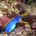 Blue Ribbon Eel. photo taken with Olympus C4000 and Ike DS-125 strobe