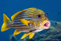 Yellow-ribbon sweetlips with cleaner wrasse. Nikon D300, 105mm, Ikelite, 2xDS125