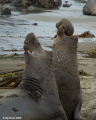 Northern Elephant Seals at San Simeon, CA. Nikon D200