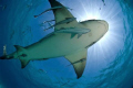 7 foot lemon shark at the surface, caught in the sun burst.