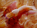 Emperor shrimp, Periclimenes imperator on spanish dancer.