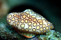 Flamingo Tongue - Bonaire - Canon EOS350D; EF-S 60mm; single DS-125 strobe