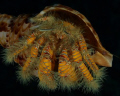 Show off!!  Yellow hairy hermit crab in Triton's Trumpet Shell.