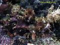 Scorpion Fish taken with Sony PC-105