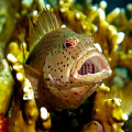 Yawning Hawkfish taken with a Canon G9 and Ikelite DS51 strobe