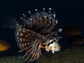 This Juvenile Lionfish was stalking me..haha. Every time I lined up a photo and turned and looked he was swimming by me in full plumage