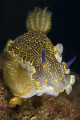 Hypselodoris picta taken with Canon eos 5d and macro 100mm, 2× Ikelite ds200