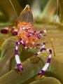 Anemone Shrimp (Periclimenes holthuisi) from Anilao.