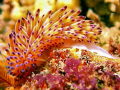 Janolus Nakaza (Gas Flame Nudibranch) taken at Philips Reef in Port Elizabeth. Sony W300 and Fantasea Nano flash