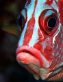 Giant squirrelfish - Canon EOS350D; EF-S 60mm; single DS-125