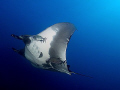 Pacific manta ray at the Boiler at San Benedicto.  E-300 11-22mm.