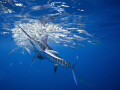 Striped marlin strikes sardines from a baitball. www.marcmontocchio.com