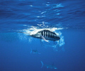A striped marlin smashes a sardine a few feet off the dome. www.marcmontocchio.com