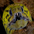 Yellowhead Moray Eel