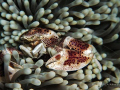Porcelain Anemone Crab with black pearls.... Photo capture by Canon G9 with single Inon strobe and macro len @ Balai Resort house reef, Anilao, Philippines.