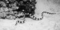 Banded sea snake, Atlantis resort. Nikonos V 28mm lense, done in black and white for the effect.