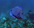 A Blue Tang on a Night Dive in Samana , Dominican Republic.