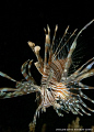 LionFish in Nha Trang, Vietnam