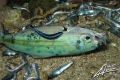 cleaner wrasse feeding on DYNAMITED fish... :-(