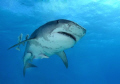 Tiger shark swims overhead