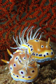Couple of Chromodoris geminus. Picture taken on the second reef off Negombo, Sri Lanka.