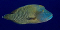 Napoleon Wrasse pic from Palau.  Running out of pics!  Need another trip!