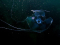 Deep delicacy. Medusae Geryonia proboscidalis.