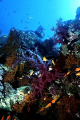 Corals - Dendronephthya Sp.